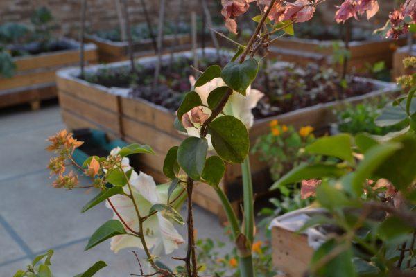Kitchen Garden at Home Gets Summer ready